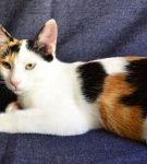 Анатолийская кошка триколор