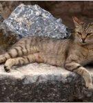 Анатолийская кошка табби