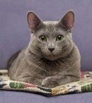 Анатолийская кошка голубая