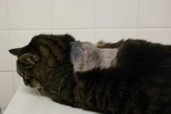 Поствакцинальная саркома у кошки