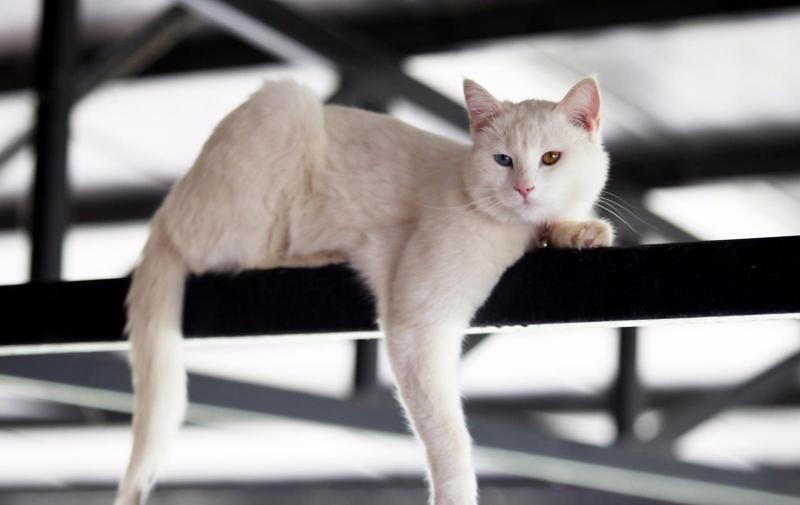 Описание породы анатолийская короткошрстная кошка