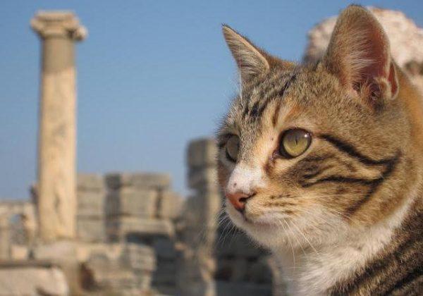 Анатолийская кошка на фоне города