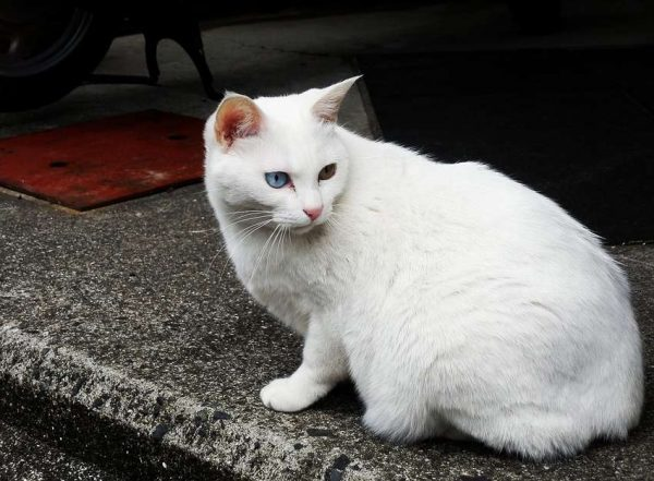 Анатолийская кошка белого окраса