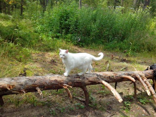 Анатолийская кошка идёт по бревну