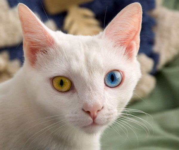 Глаза анатолийской кошки