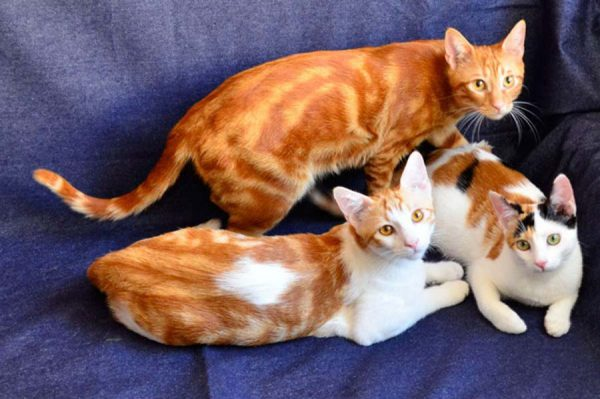 Три анатолийские кошки