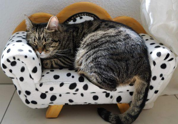 Анатолийская кошка на диванчике