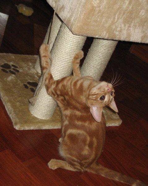 Анатолийская кошка с когтеточкой