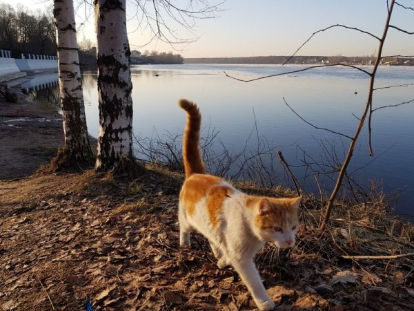 Анатолийская кошка гуляет