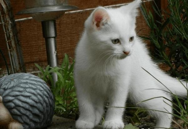 Анатолийский котёнок