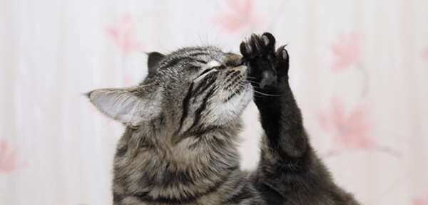 Анатолийская кошка вылизывается