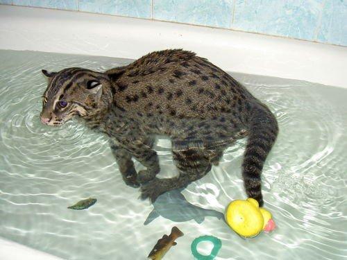 Виверровый кот в ванне