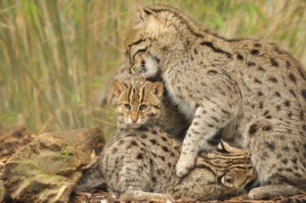 Кошка облизывает котёнка