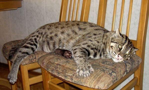 Виверровый кот на стуле