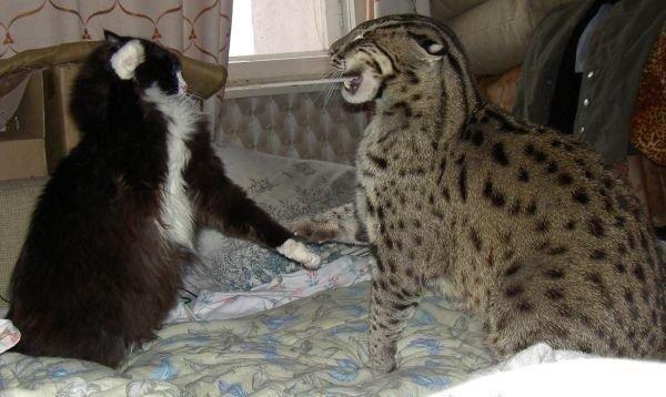 Виверровый и домашний коты
