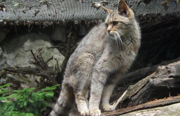 Китайская горная кошка стоит на бревне