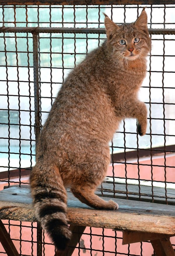 Китайская горная кошка стоит на задних лапах, опираясь на ограждение клетки в зоопарке