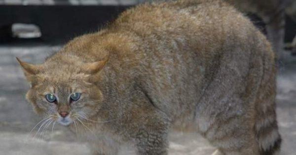 Китайская горная кошка стоит, вздыбившись и готовясь к атаке
