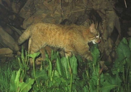 Китайская горная кошка идёт через лес ночью