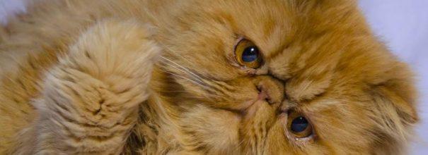 Персидский кот лежит