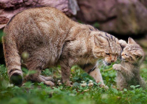 Китайская горная кошка с детёнышем играют в траве