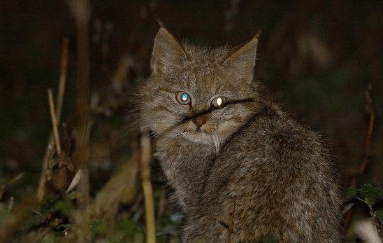 Молодая китайская горная кошка сидит ночью в траве