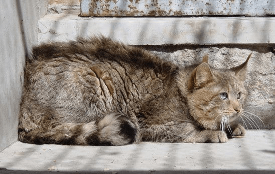 Китайский горный кот сидит в углу клетки зоопарка и смотрит исподлобья вверх