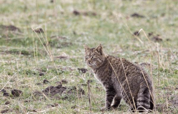 Китайский горный кот стоит в степных травах, глядя вперёд