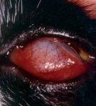 Выпадение покрасневшего и отёчного третьего века на глазу у кошки