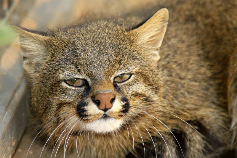 Дикая пампасская травяная кошка степной шпион