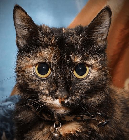 Черепаховая кошка крупным планом