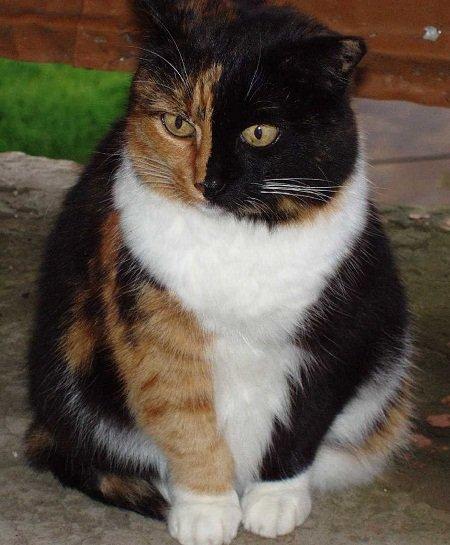 Британская трёхцветная кошка
