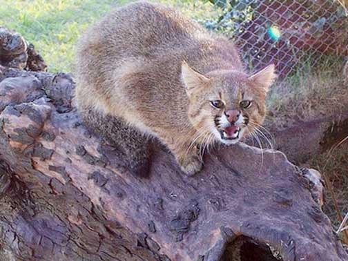 Пампасская кошка в неволе