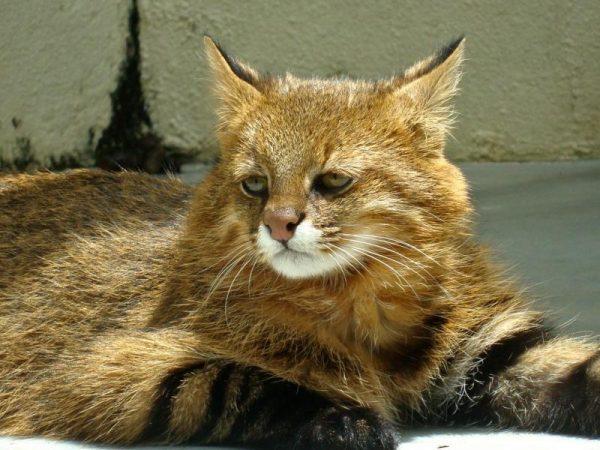 Пампасская кошка лежит