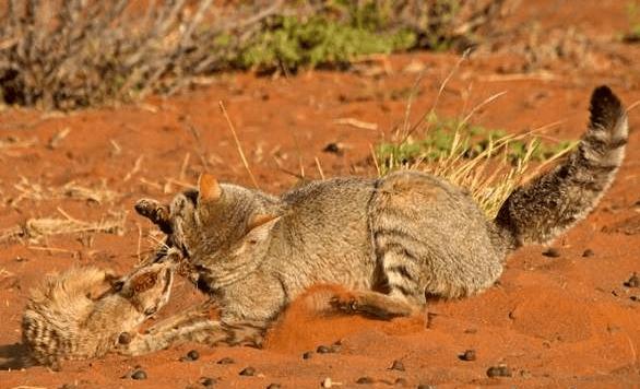 Охота травяной кошки
