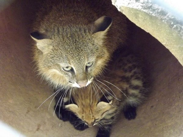 Пампасская кошка и котята