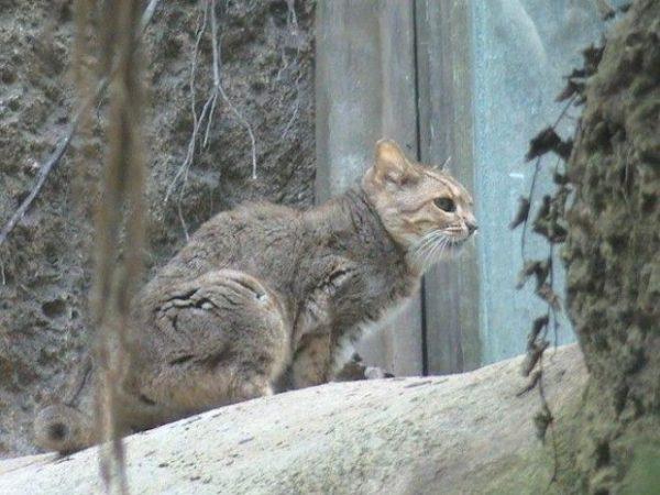 Китайская горная кошка сидит на завалинке заброшенного дома