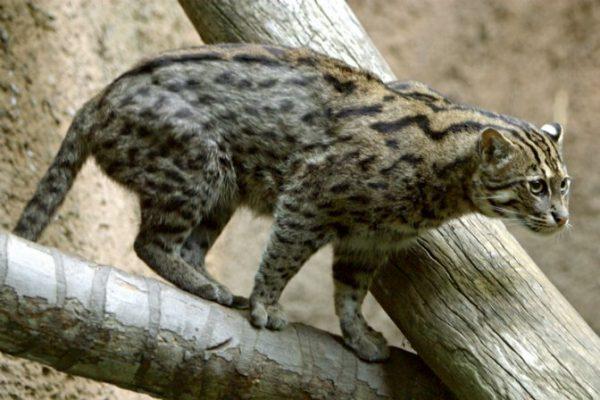 Виверровый кот на ветке