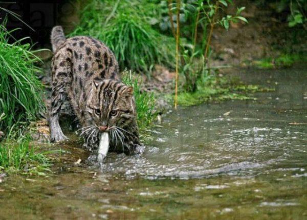 Вивверовый кот с рыбой в зубах