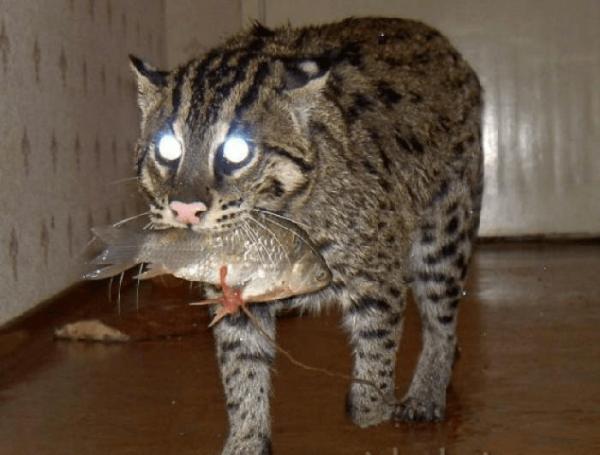 Виверровый кот дома с рыбой