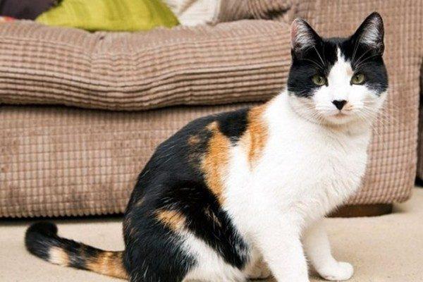 Трёхцветный кот Джейк