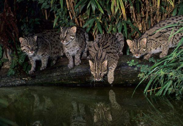 Виверровые коты пьют