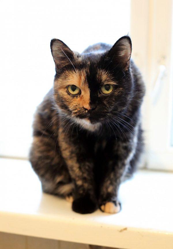 Красивая кошка триколор