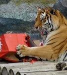 Тигр с коробкой