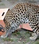 Леопард с коробкой