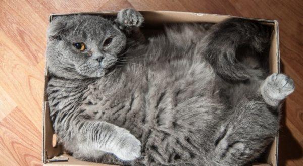 Толстый кот в коробке
