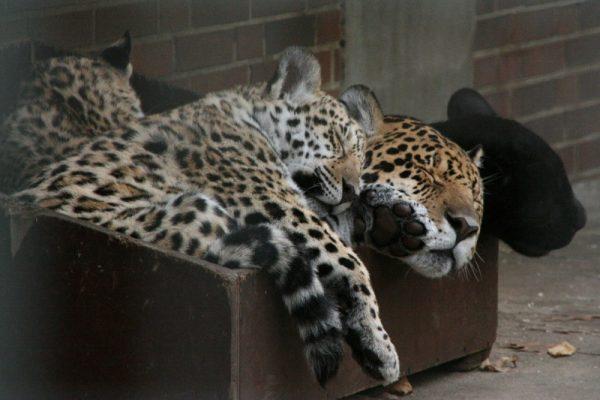 Леопарды в коробке