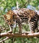 Оцелот стоит на ветке дерева в лесу и смотрит, оскалившись, вниз