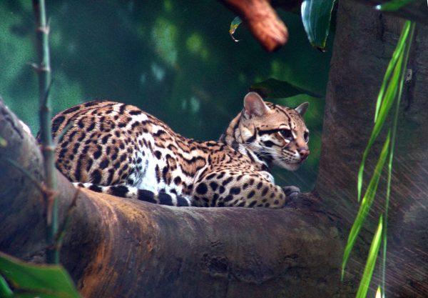 Оцелот лежит на ветке дерева во время тропического ливня