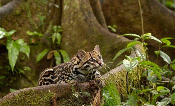Оцелот сидит в корнях мангрового дерева и смотрит вверх, выставив вперёд одну лапу